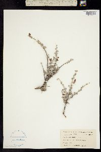 Leucophyllum minus image