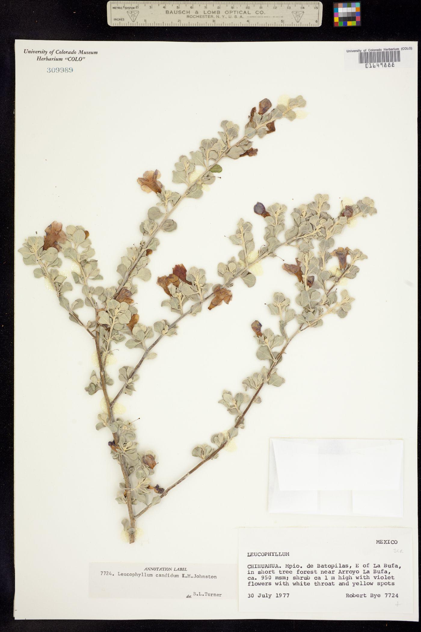 Leucophyllum candidum image