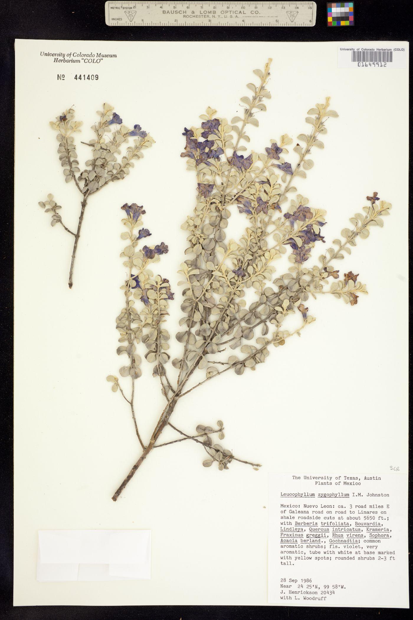 Leucophyllum zygophyllum image
