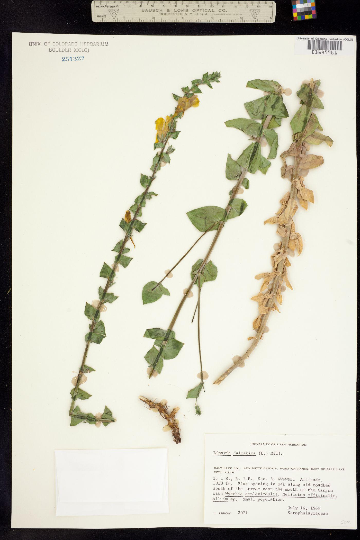 Linaria genistifolia image
