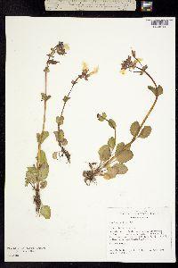 Mimulus guttatus image