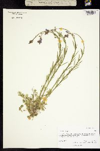 Linaria texana image