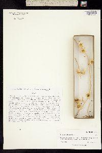 Image of Epixiphium wislizeni