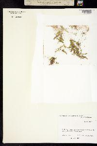 Micranthemum umbrosum image