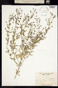 Image of Mecardonia acuminata