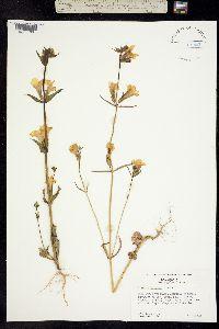 Mimulus brevipes image