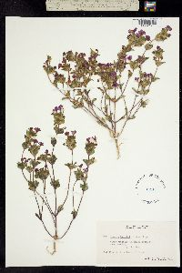 Mimulus cusickii image