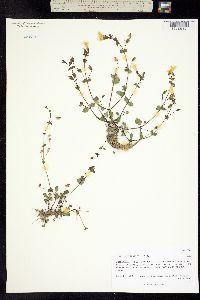 Mimulus glabratus image