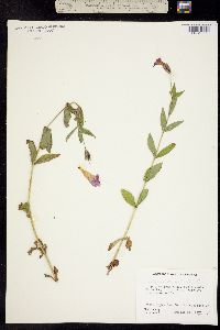 Erythranthe lewisii image