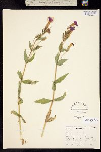 Mimulus lewisii image