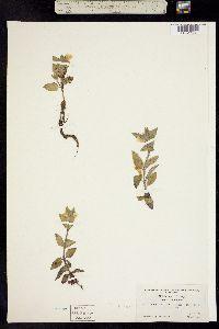 Mimulus moschatus image