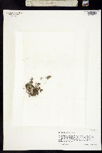 Erythranthe pallens image