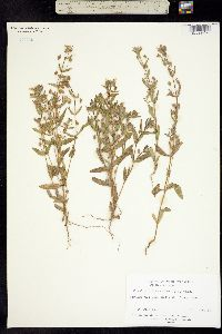 Mimulus pilosus image