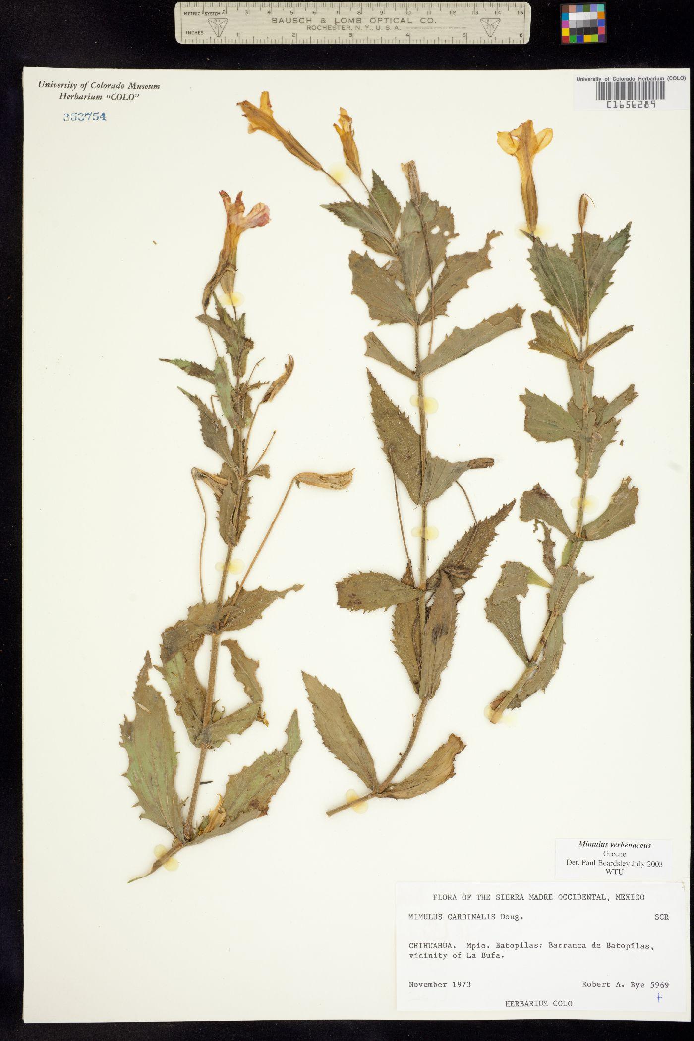 Mimulus cardinalis image