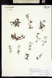 Image of Mimulus alsinoides