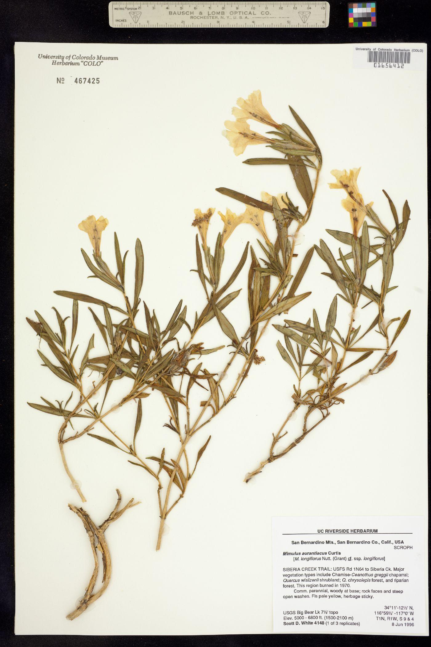 Mimulus aurantiacus image