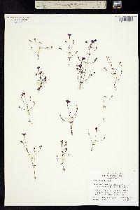Image of Mimulus diffusus