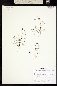Erythranthe diffusa image