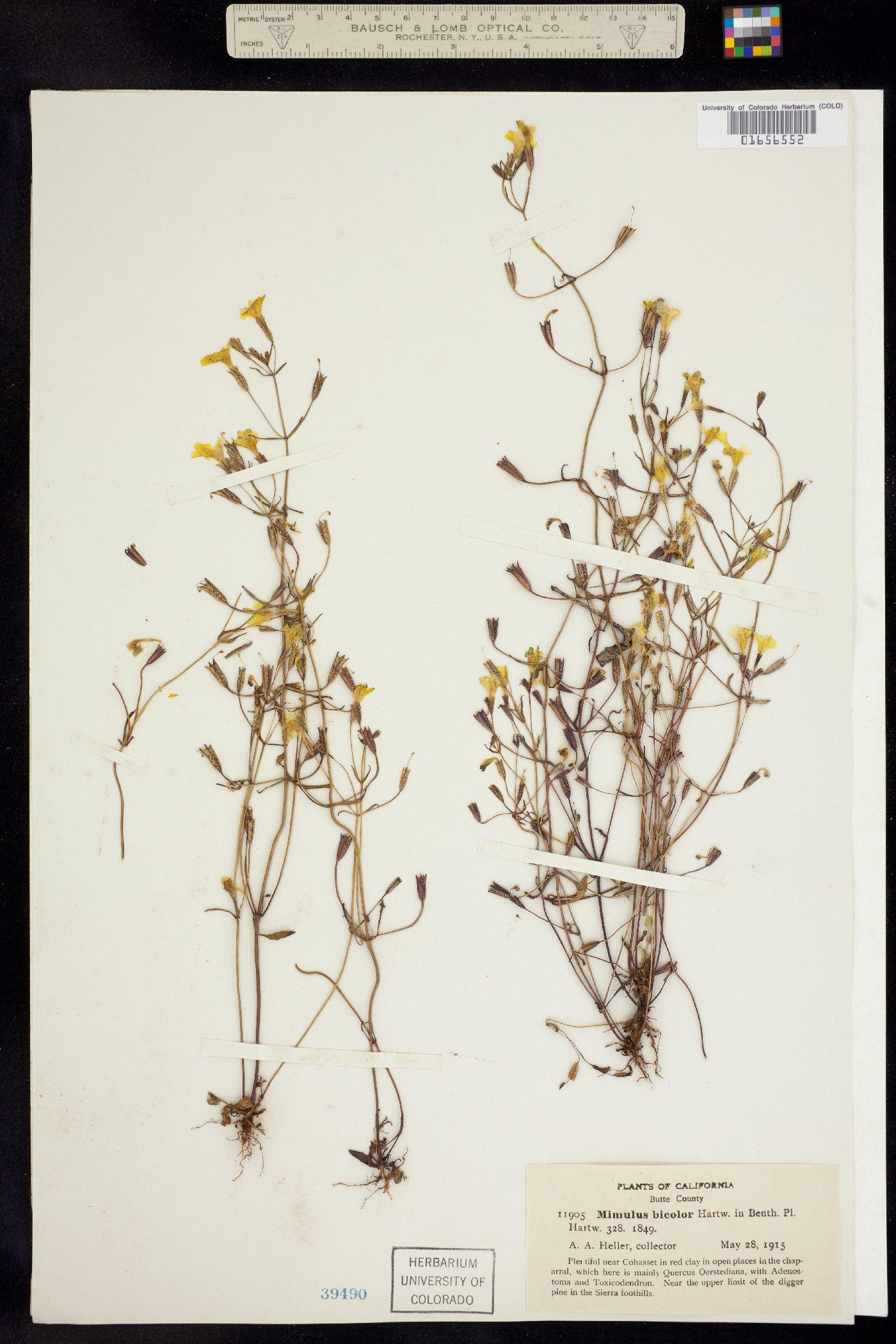 Mimulus bicolor image