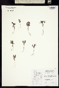 Image of Mimulus jungermannioides