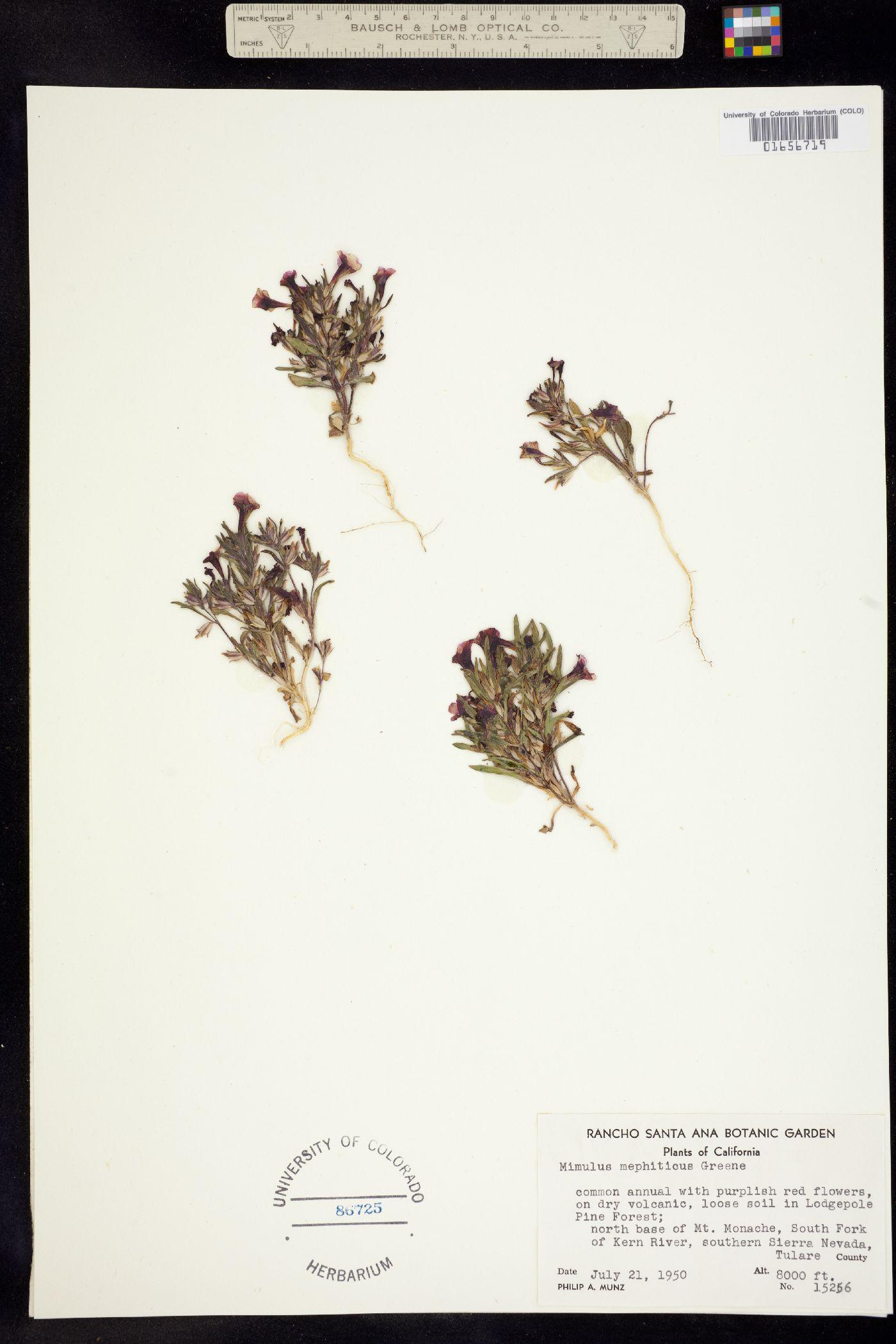 Mimulus mephiticus image