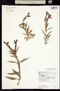 Image of Erythranthe nelsonii