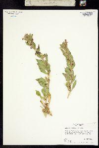 Image of Diplacus rupicola