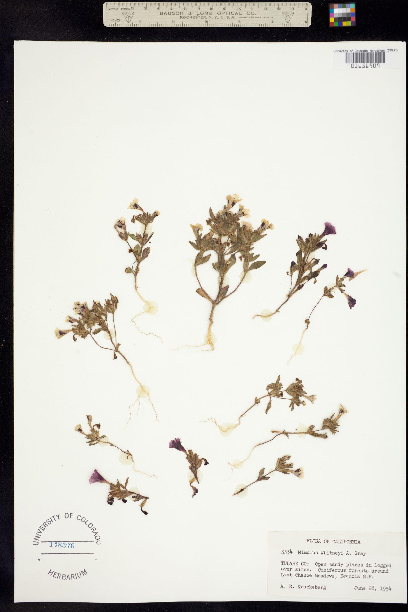 Mimulus whitneyi image