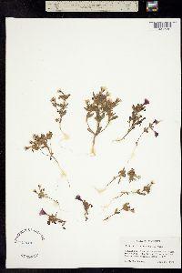 Image of Mimulus whitneyi