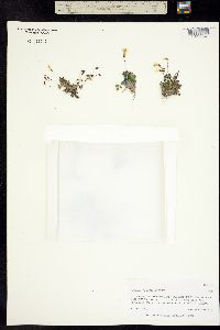 Erythranthe madrensis image