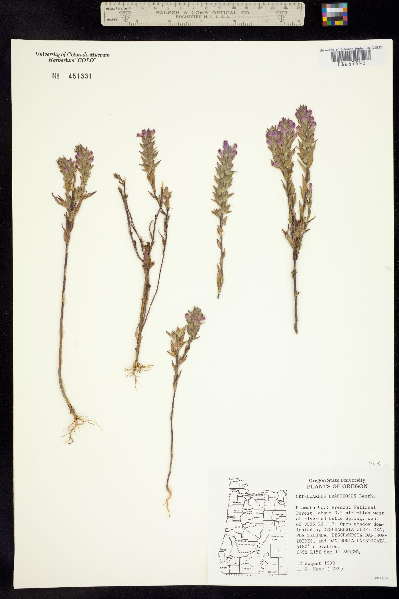 Orthocarpus bracteosus image