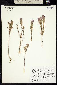 Image of Orthocarpus bracteosus