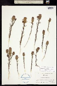 Image of Orthocarpus cuspidatus