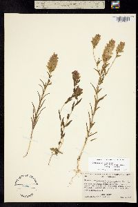 Orthocarpus cuspidatus image