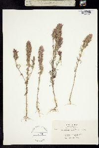 Image of Orthocarpus densiflorus
