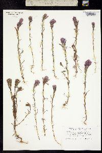 Castilleja densiflora image