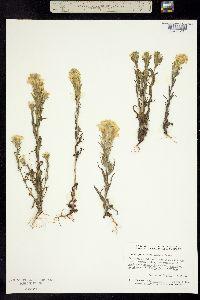 Image of Orthocarpus lithospermoides