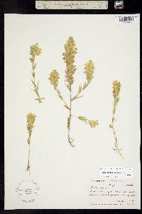 Orthocarpus lithospermoides image