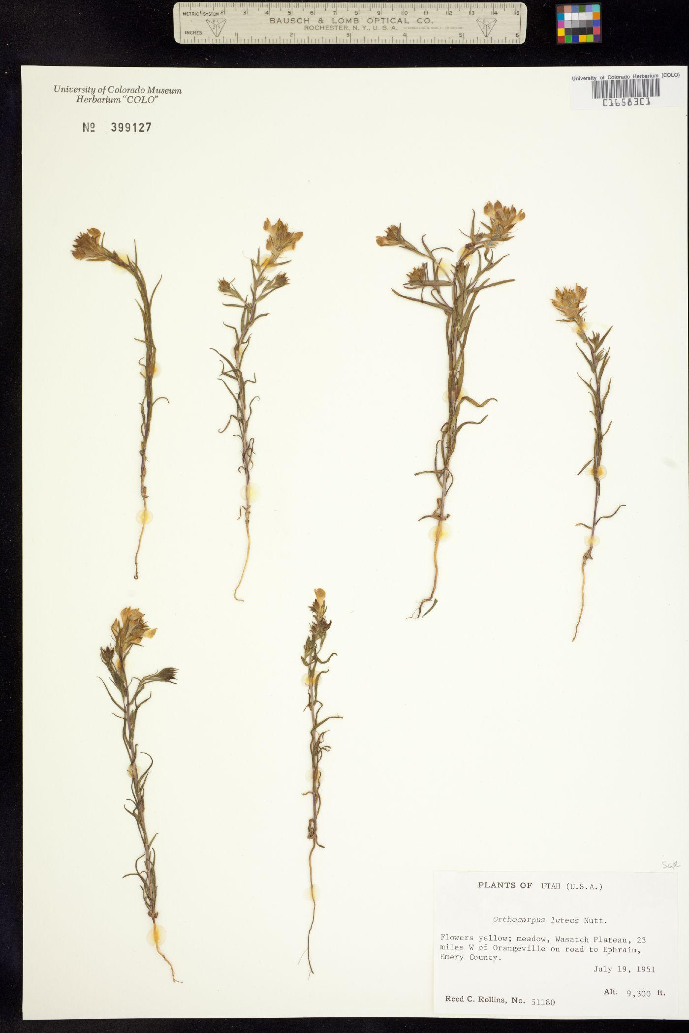 Orthocarpus image