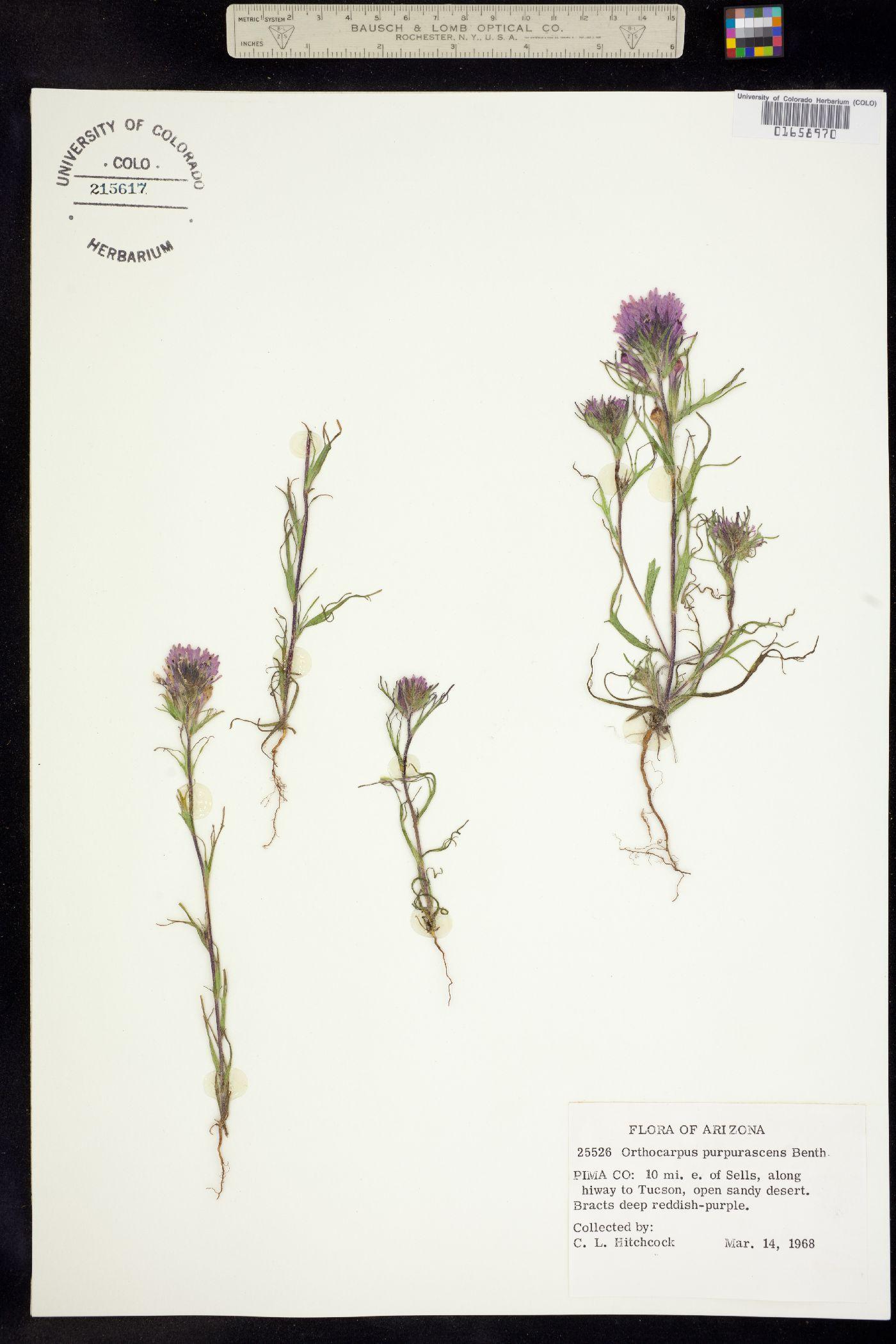 Orthocarpus purpurascens image