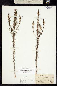 Orthocarpus purpureoalbus image