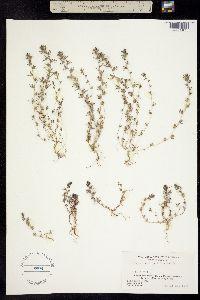 Image of Orthocarpus pisillus