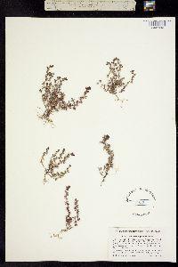 Orthocarpus pusillus image