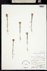 Orthocarpus tenuifolius image