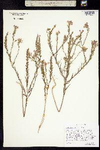 Image of Orthocarpus tolmiei