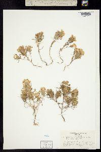 Image of Orthocarpus campestris