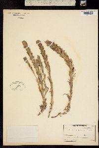 Image of Castilleja psittacina