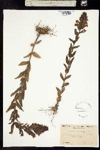 Parentucellia viscosa image