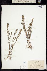 Image of Orthocarpus tenuis