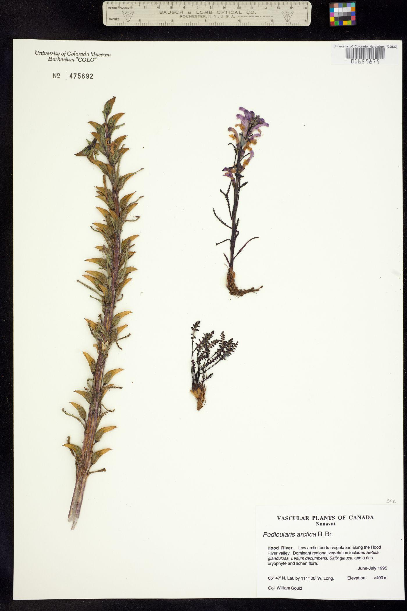 Pedicularis langsdorffii ssp. arctica image